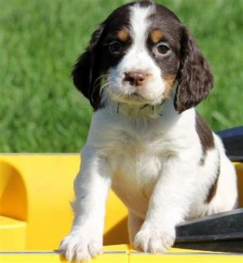 tootsy roll english springer spaniel puppy handmade