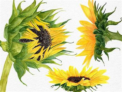 Sunflower Watercolor Clipart Illustrations Graphics Lecoqdesign Example
