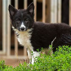 Jack Russell Terrier Collie Mix images
