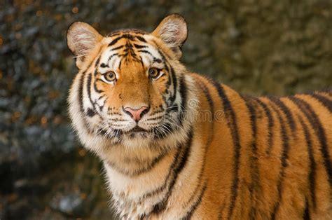 Portrait Siberian Tiger Stock Photo Image Carnivore