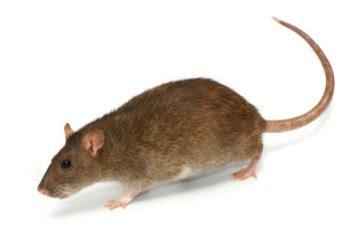 show me pictures of mice فأر القرية و فأر المدينة 1ـ2 لها أون لاين موقع المرأة العربية