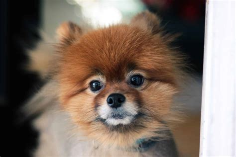 top  pomeranian haircut styles    dog