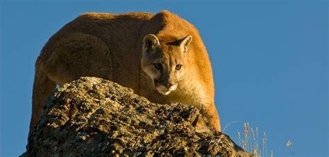 cougar puma panther  mountain lion wilden kelowna