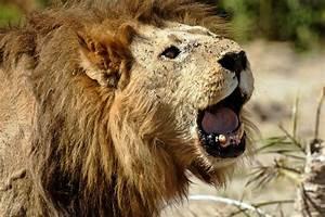 Animals Zoo Park: Lions Roaring Pics, Roaring Lion ...