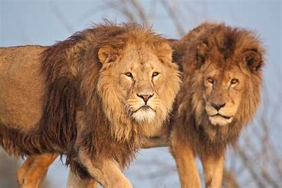 Animals Wildlife Nature Lion Desktop Mane Cat