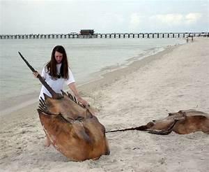 largest horseshoe crab | Still life: Giant horseshoe crabs ...