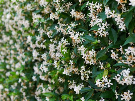Schnell Wachsende Blühende Sträucher Als Sichtschutz by Bl 252 Hender Sichtschutz 187 Pflanzenauswahl Pflanztipps Und Mehr
