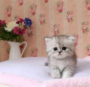 miniature cats kerrie s cup of tea teacup kittens