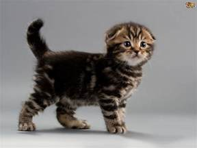type of cats recognised mutations of cat type pets4homes