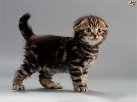 Recognised Mutations Of Cat Body Type