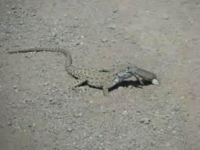 Arizona Wildlife Lizard