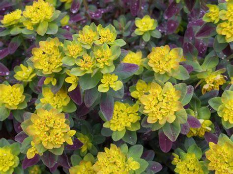 perennial shrubs forget the flowers shrubs and a mention of perennials ramblin through dave s garden