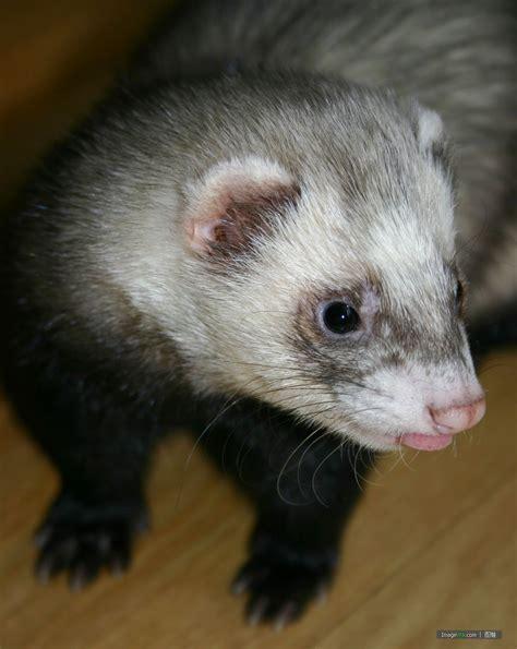 白鼬图片 ferret - 图蛙 ImageWa.com