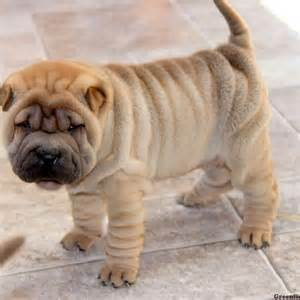 chinese shar pei puppies for sale greenfield puppies