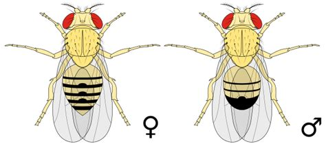 filebiology illustration animals insects drosophila