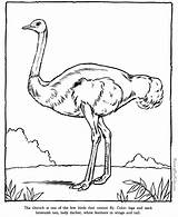 Coloring Pages Ostrich Zoo Printable Animal Animals Printing Help Drawing sketch template