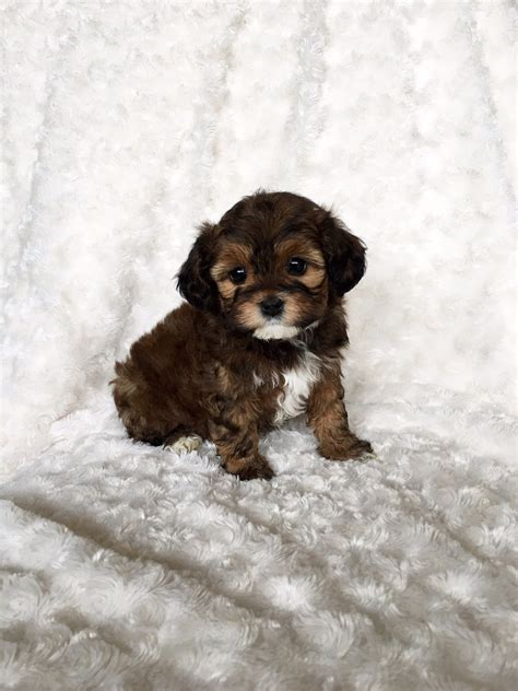 teacup puppy maltipoo coco iheartteacups