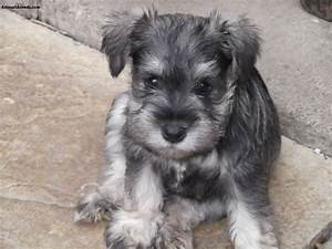 Miniature Schnauzer - Pictures, Information, Temperament ...