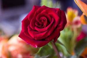 Lovely Red Rose HD Flowers Wallpapers for Mobile and Desktop
