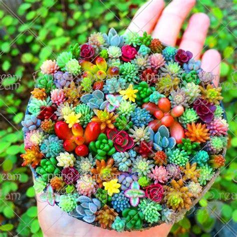 100 Seeds Rare Colorful Mini Succulent Cactus - elitehomeimage