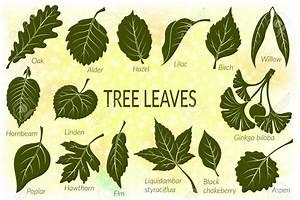 55811420 Pictograms Set Tree Leaves Oak Willow Liquidambar