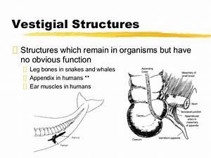 Unit 8 evolution for moodle  Vestigial