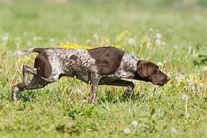 German Shorthaired Pointer Life Expectancy 16 High ...