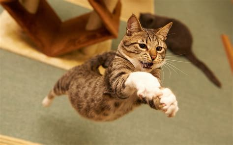 Myxer Wallpapers Animals - cat animals jumping wallpapers hd desktop and mobile