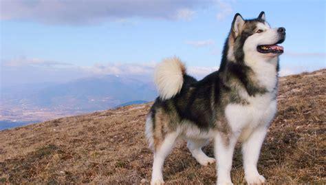 Alaskan Malamute All About Dogs
