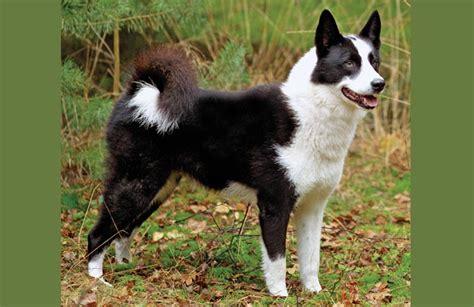 bureau a distance sélection d un chien ckc