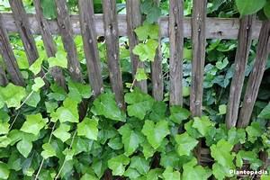 Efeu Als Zimmerpflanze : zimmerefeu efeu als zimmerpflanze hedera helix pflege plantopedia ~ Indierocktalk.com Haus und Dekorationen