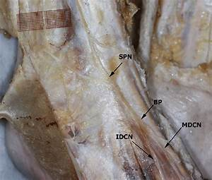 Distribution Of The Superficial Peroneal Nerve  Spn  To