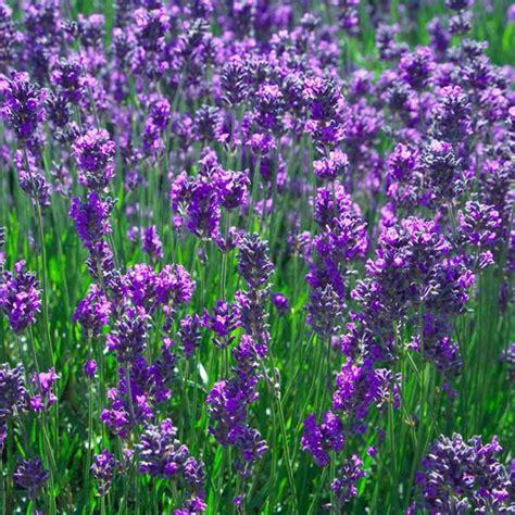lavender plants australian seed lavander angustifolia vera