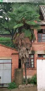 Trachycarpus Fortunei Auspflanzen : palmen per paket palmen palme per paket erwachsene latania loddigesii im nat rlichen ~ Eleganceandgraceweddings.com Haus und Dekorationen