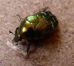 Käfer In Der Wohnung Bestimmen : kann jemand diesen k fer bestimmen entomologie ~ Eleganceandgraceweddings.com Haus und Dekorationen