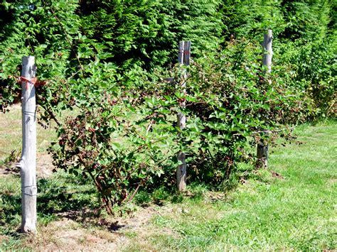 Laurel Bay Nursery by Triple Crown Thornless Blackberry Burnt Ridge Nursery