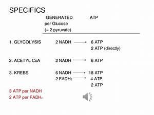 Cellular Respiration Within Mitochondrium