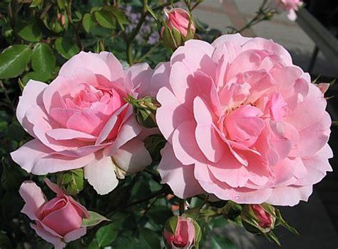 verschenke garten rosa bonica 82 syn meidomonac