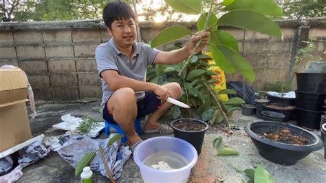 วิธีปักชำ ต้นยางอินเดีย สูตรง่ายๆ ทุกคนทำได้ - YouTube
