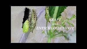 Bedeutung Schmetterling In Der Wohnung : von der raupe zum schmetterling metamorphose youtube ~ Watch28wear.com Haus und Dekorationen