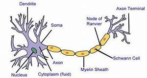 Horse Life And Love  All About     Nerve Cells