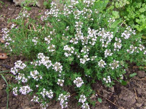 fleur de thym cuisine côtes d 39 agneau à la fleur de thym pois gourmands