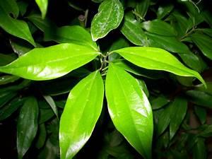 Cinnamon - World Crops Database