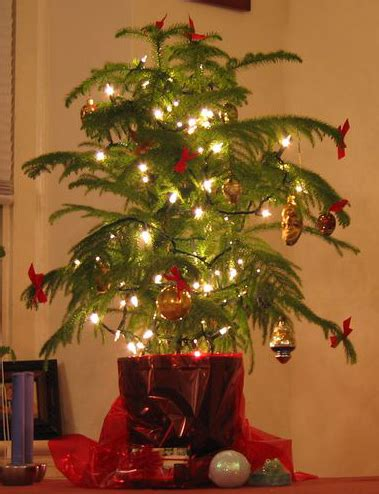 keeping your living christmas tree alive lovetoknow