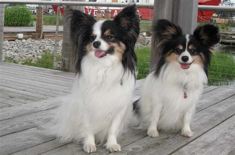 papillon dog info temperament lifespan shedding