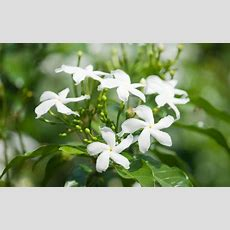 Jasmine Plant Care How To Care For Jasmine Plants