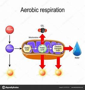 Cellular Respiration Diagram Electron Transport Chain