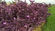 Tradescantia pallida (Rose) D.R.Hunt / Purple Queen - YouTube