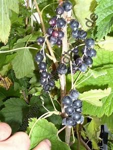 Schwarze Johannisbeere Pflanzen : schwarze johannisbeere pflanzenrarit ten aus mecklenburg ~ Lizthompson.info Haus und Dekorationen