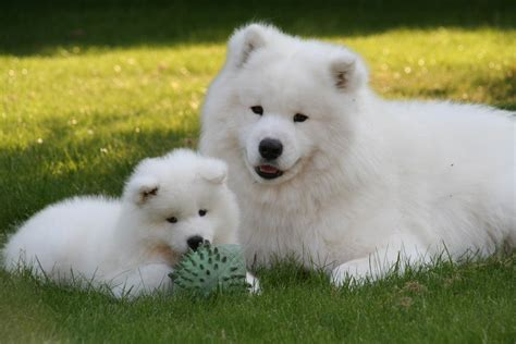 Samoyedpictures Of Dogs And All About Dog